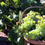 green grapes in basket